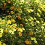 Садим семена тунбергиии: секреты выращивания цветов и ухода за ними