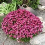 Выращивание камнеломки: посадка семян растения и уход за цветами в домашних условиях