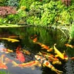 Как организовать разведение рыбы в условиях искусственного водоема