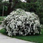 Посадка кустарников дейции и особенности зимнего ухода