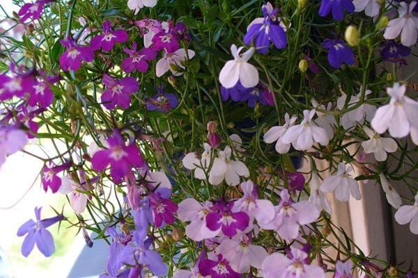 Ампельный сорт растений