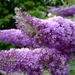 Выращиваем будлею из семян: размножение, посадка и уход перед зимой