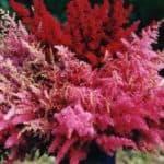 Как вырастить из семян астильбы роскошные цветы и ухаживать за ними