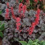 Гейхера в ландшафтном дизайне: посадка семян, выращивание и уход за различными сортами