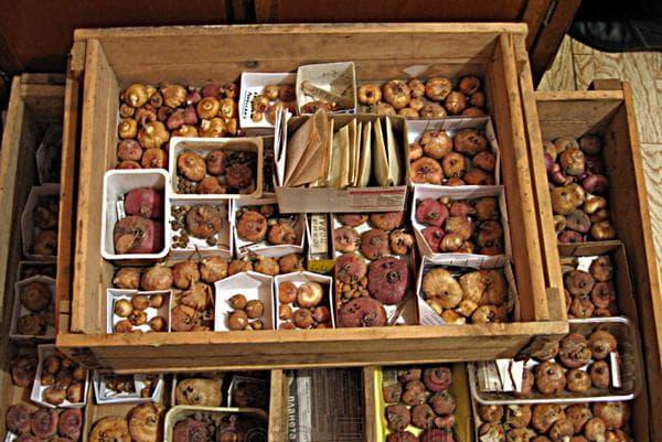 Хранение гладиолусов