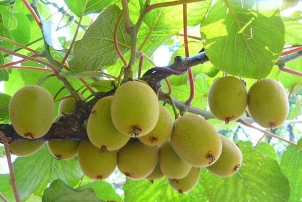 Выращивание плодов