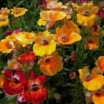 Выращиваем цветы немезия из семян: от посадки до ухода