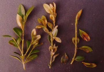 болезни вечнозеленого самшита