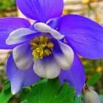 Выращиваем цветы аквилегии из семян: посадка различных сортов и уход