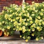 Как посадить семена калибрахоа, вырастить цветы и ухаживать за ними