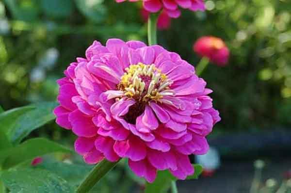 выращивание махровых цветов