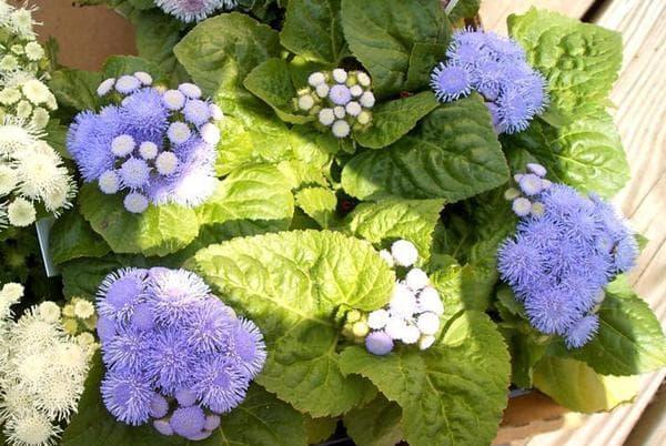 голубой сорт из семян