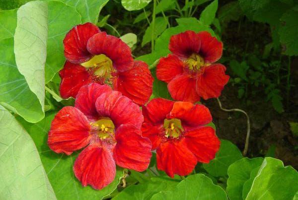 махровый сорт цветка