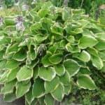 Выращиваем хосту на даче: посадка семян растения и осенний уход за отдельными видами