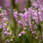 Как посадить семена вереска в саду и ухаживать за выращенными цветами