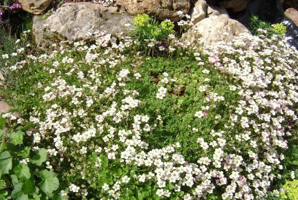 выращивание цветка семенами