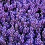 Посадка цветов лаванды и уход за ними на фото-примерах