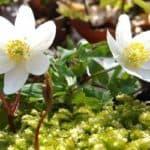 Выращиваем морозник: от посадки лечебного растения до уход за ним