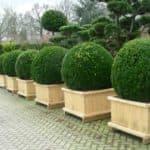 Выращивание самшита: посадка, размножение и уход за вечнозеленым растением