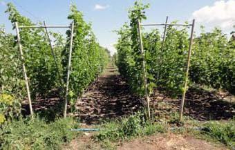 двухплоскостная виноградная шпалера