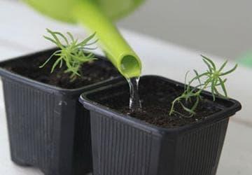посадка и уход за ростками