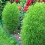 Как вырастить многолетние кустарники кохии: посадка семян и уход за цветущими сортами
