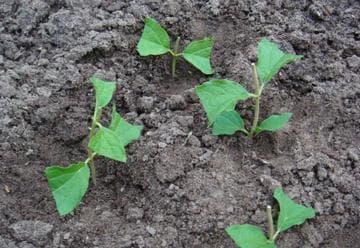 выращивание отводок чубушника