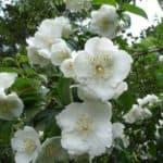 Как посадить зимостойкие сорта чубушника на участке и ухаживать за ними?