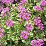 Как вырастить вербену из семян: посадка многолетних растений, уход и лечебные свойства