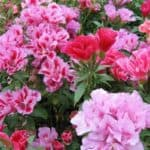 Секреты выращивания годеции из семян: посадка семян и уход за различными сортами