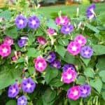 Как вырастить цветы ипомеи: от посадки семян до ухода за многолетними растениями