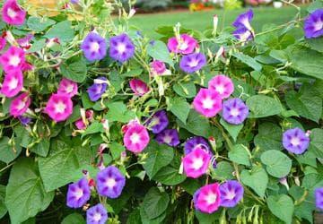Многолетняя ипомея: посадка семян, выращивание и уход за цветами