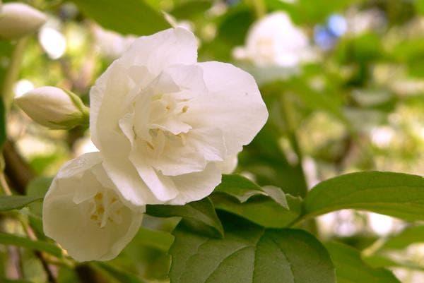 цветок лемуана