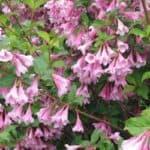 Выращивание кустарника вейгелы: размножение, посадка цветущих сортов, обрезка и уход на зиму