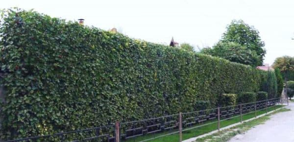 Шпалерная изгородь из боярышника