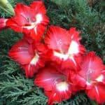 Правила посадки и выращивания гладиолусов в открытом грунте от «А» до «Я»