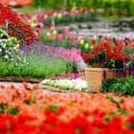 выращивание Альстромерии в теплице