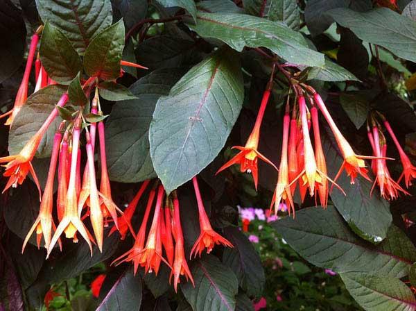 Fuchsia tryohlistnaya