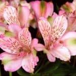 Рекомендации по выращиванию альстромерии в домашних условиях