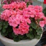 Выращивание герани и сезонная обрезка для пышного цветения