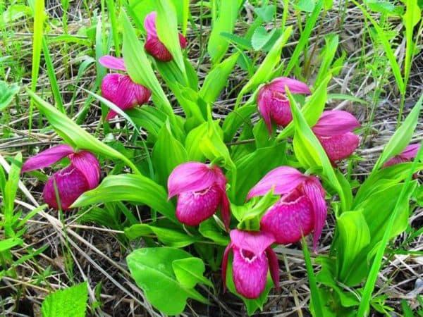 Размножение орхидей черенками