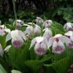Обрезка и уход за садовой орхидеей после цветения