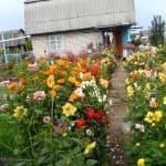 выращивание из семян Лаватера