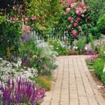 выращивание цветка Катарантуса