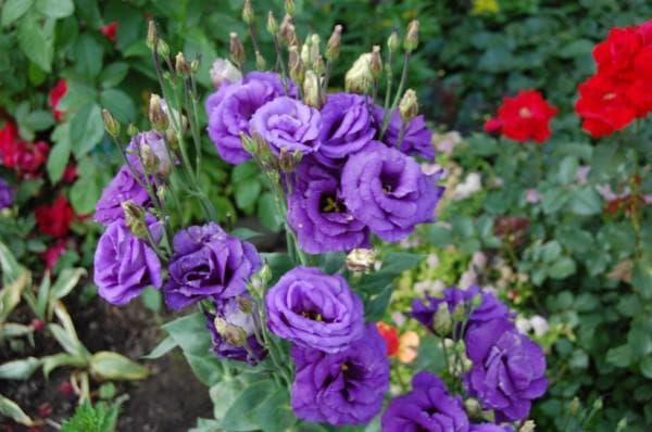 Эустома выращивание и уход в саду фото