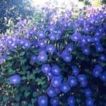 «Воспевающая утро» или правила выращивания однолетней ипомеи