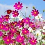 Сроки и особенности выращивания космеи из семян
