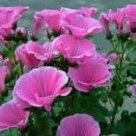 Лаватера многолетняя — яркий житель вашего сада