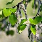 Осина: уход за деревом и продолжительность его жизни