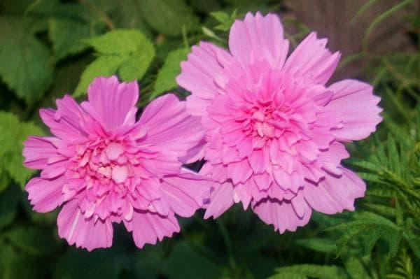 Цветы космея